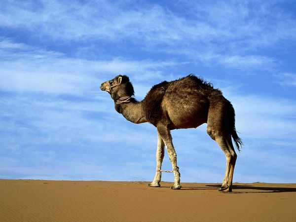 Camel_2015