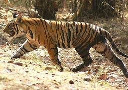 Tiger-insunderbans