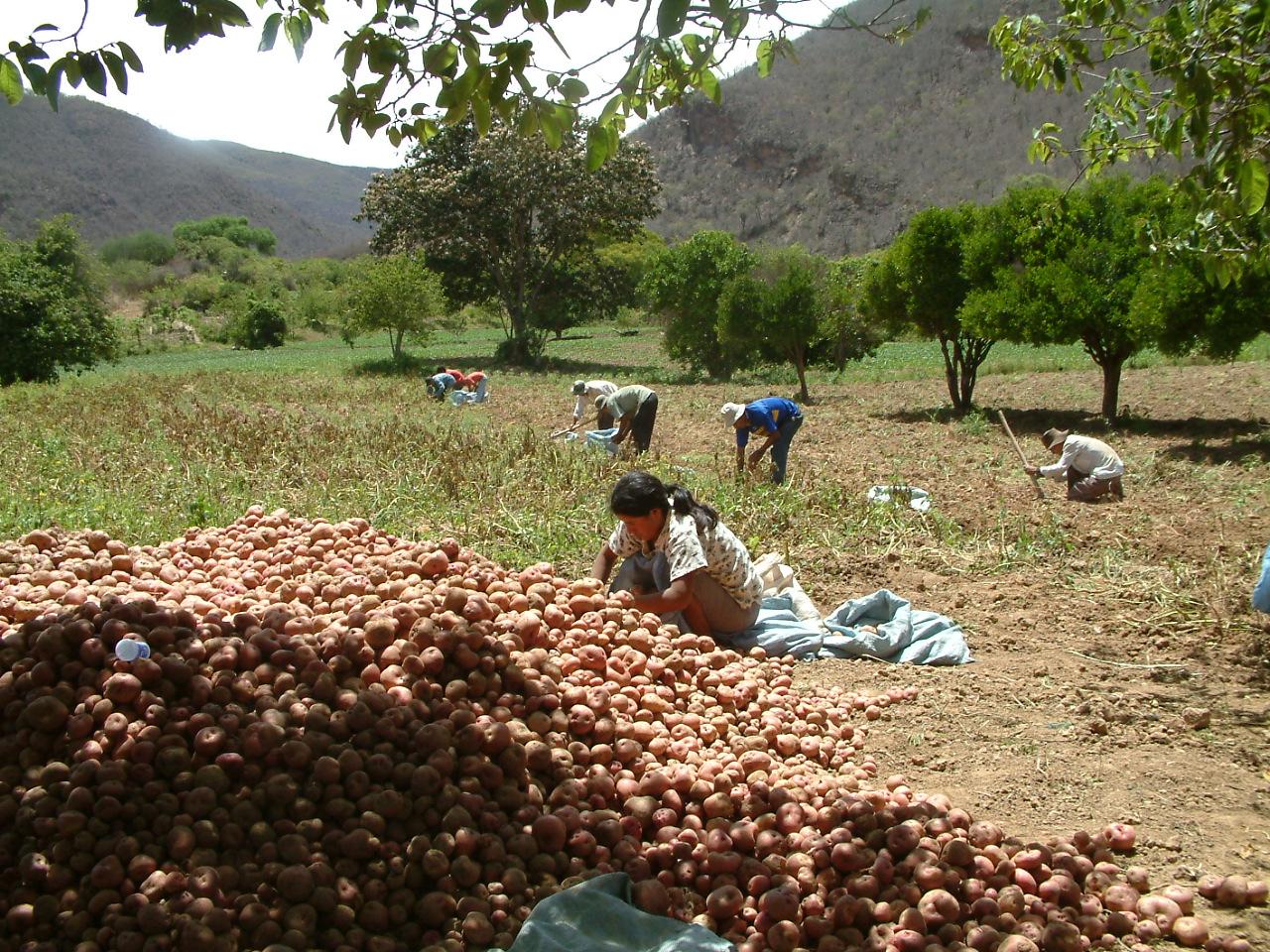 Farmers harvesting potato2