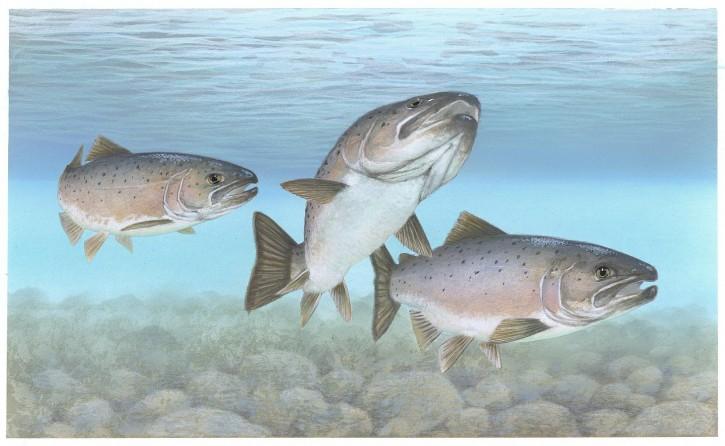 Atlantic-salmon-public-domain-image