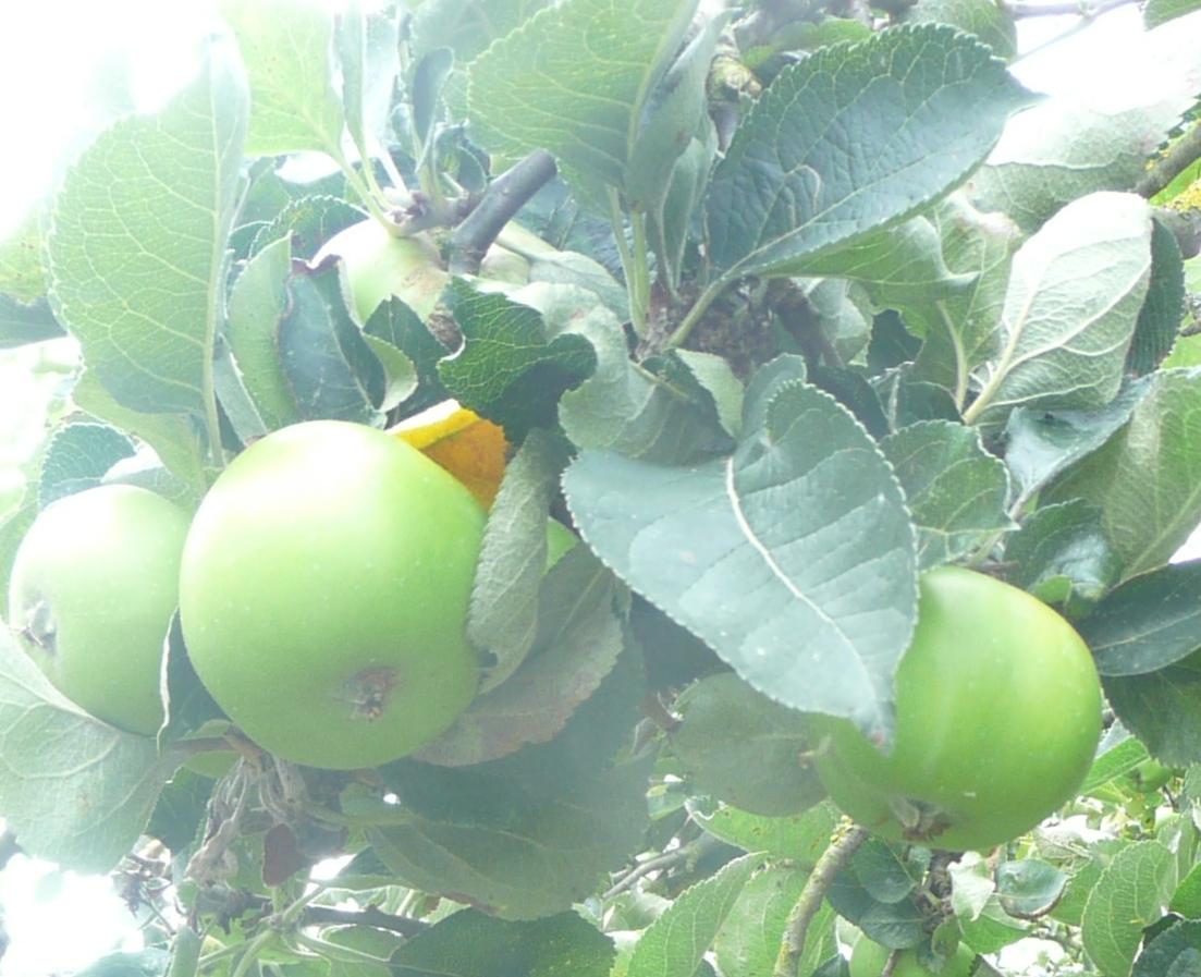 ApplespearsRobert1