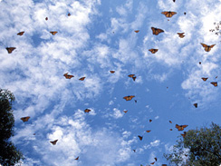 Migrating moths