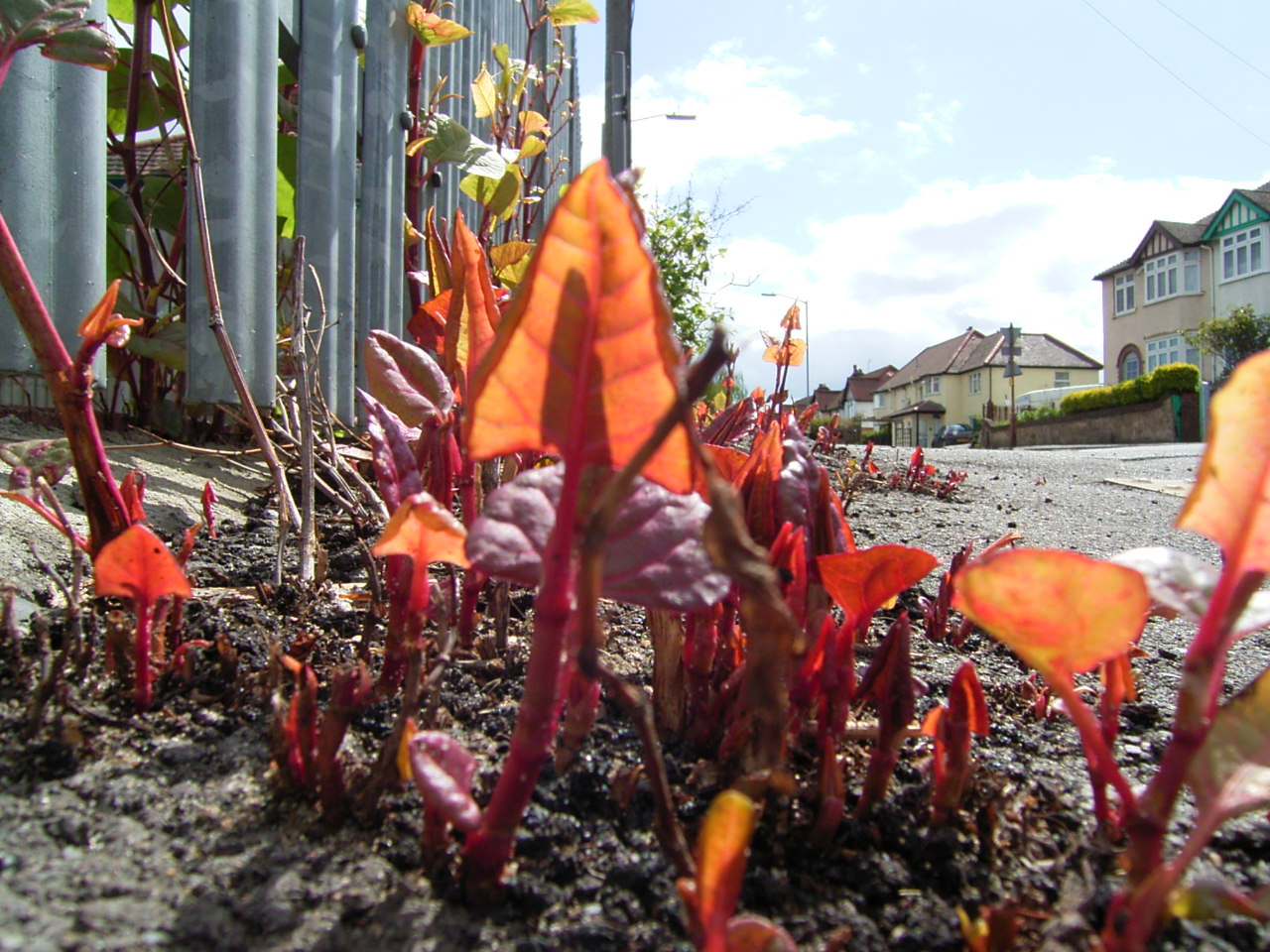 Japanese knotweed growing in High Wycombe_3784834880_o