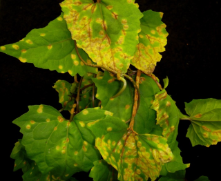 Mikania micanthra infected