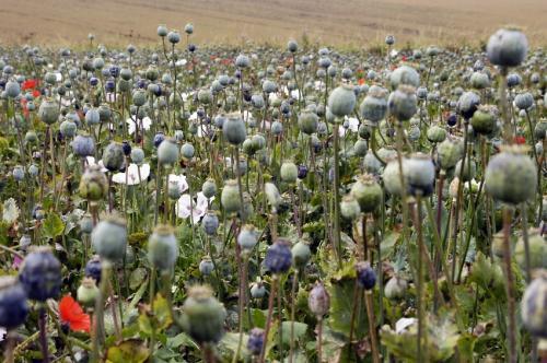 Afghanistan-opium-poppy