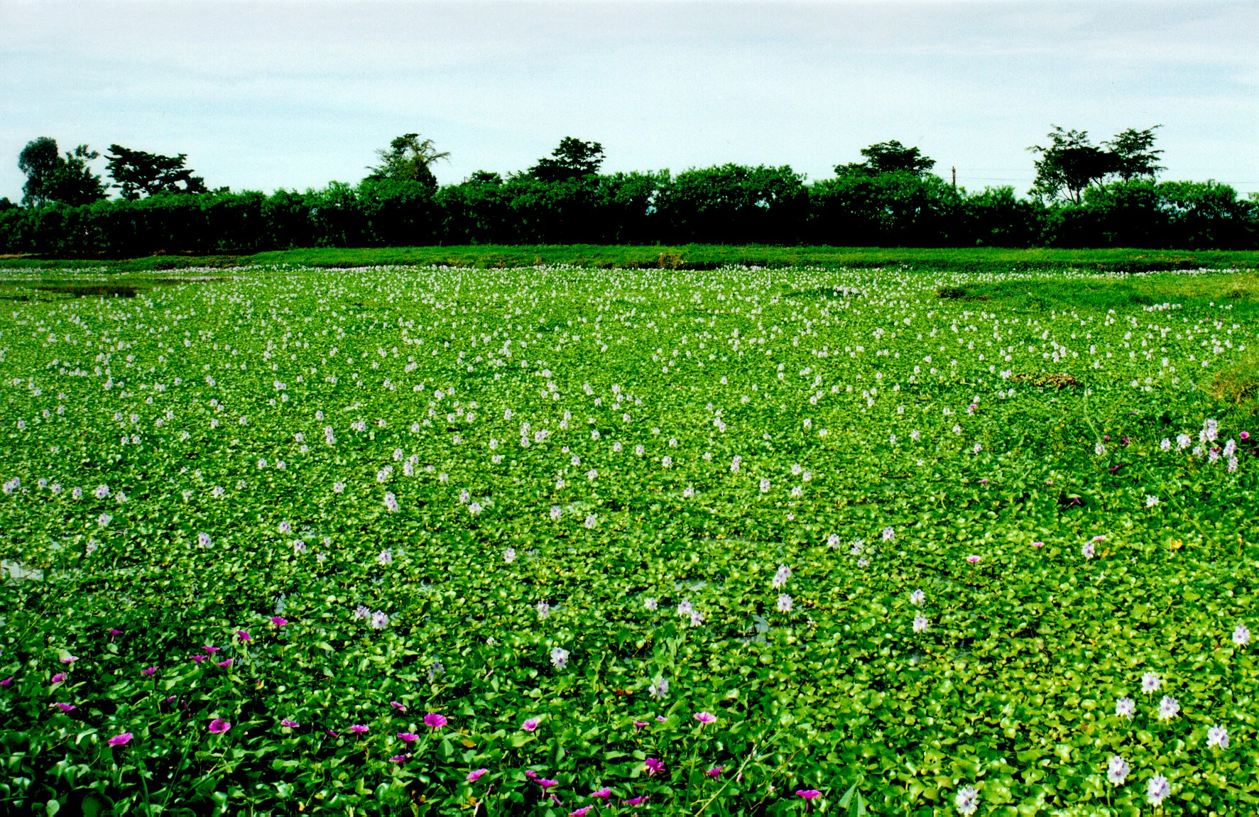 Water hyacinth mat on river
