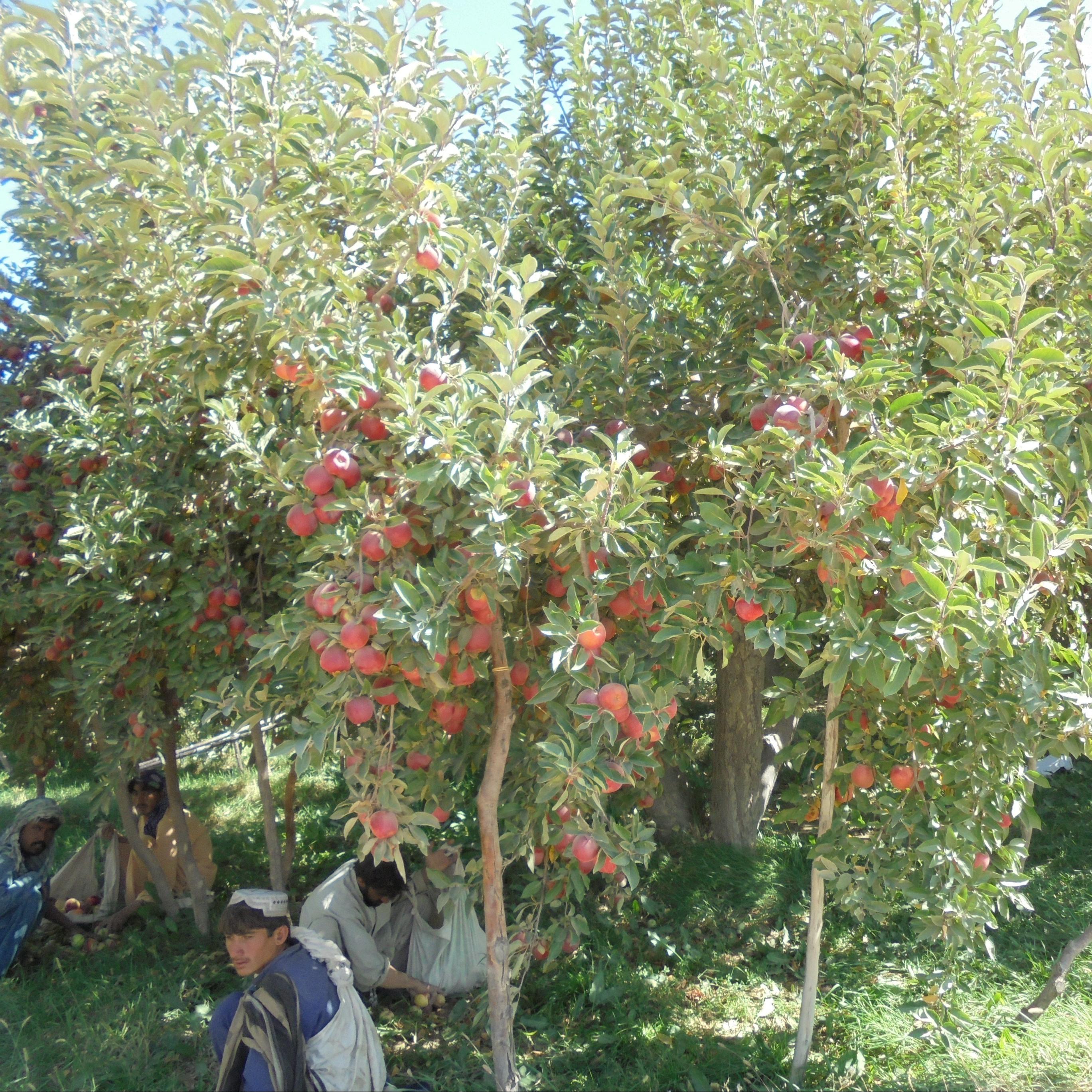 1. Apple tree in Quetta Balochistan