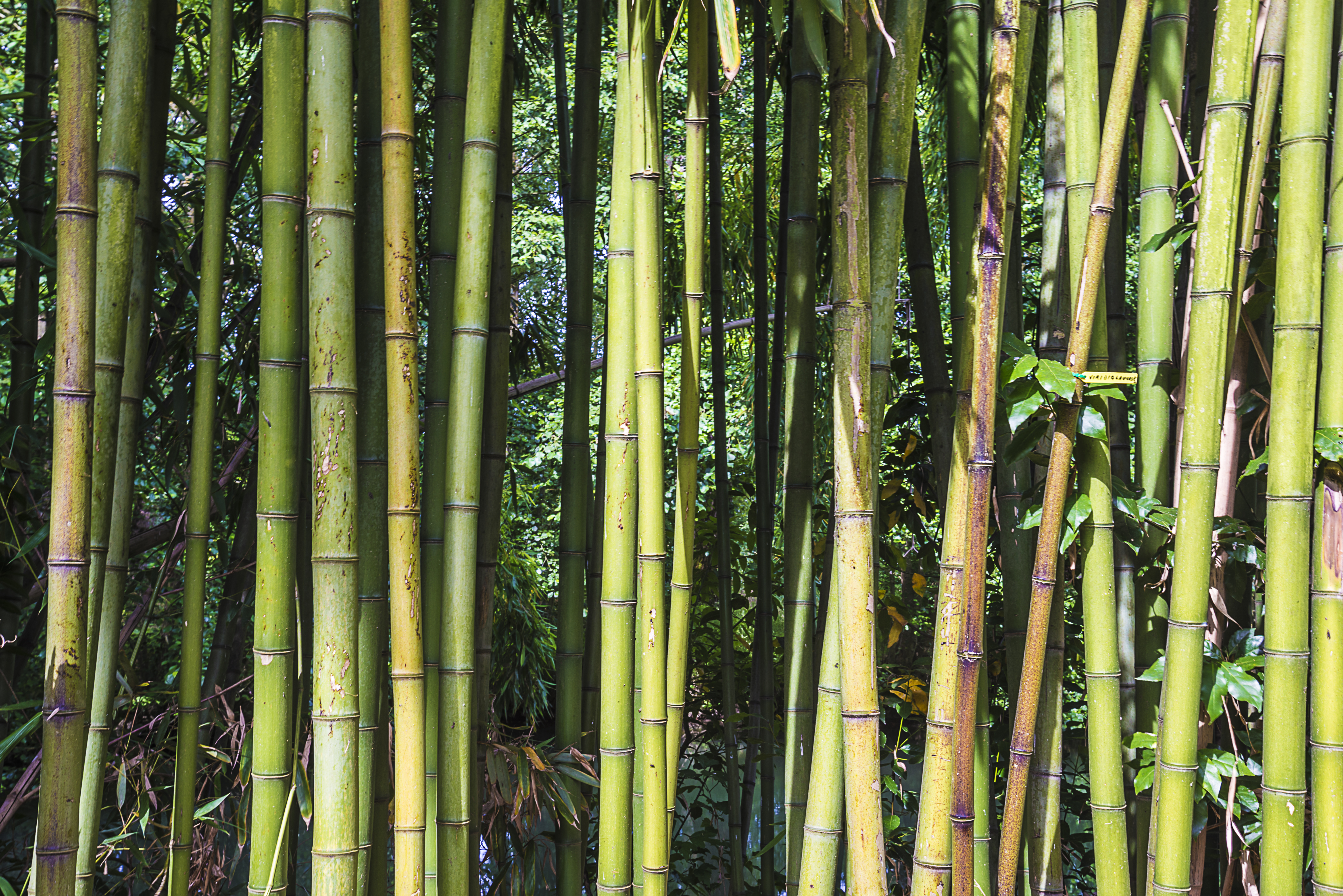 Beautiful natural background with bamboo troncs on sunny day
