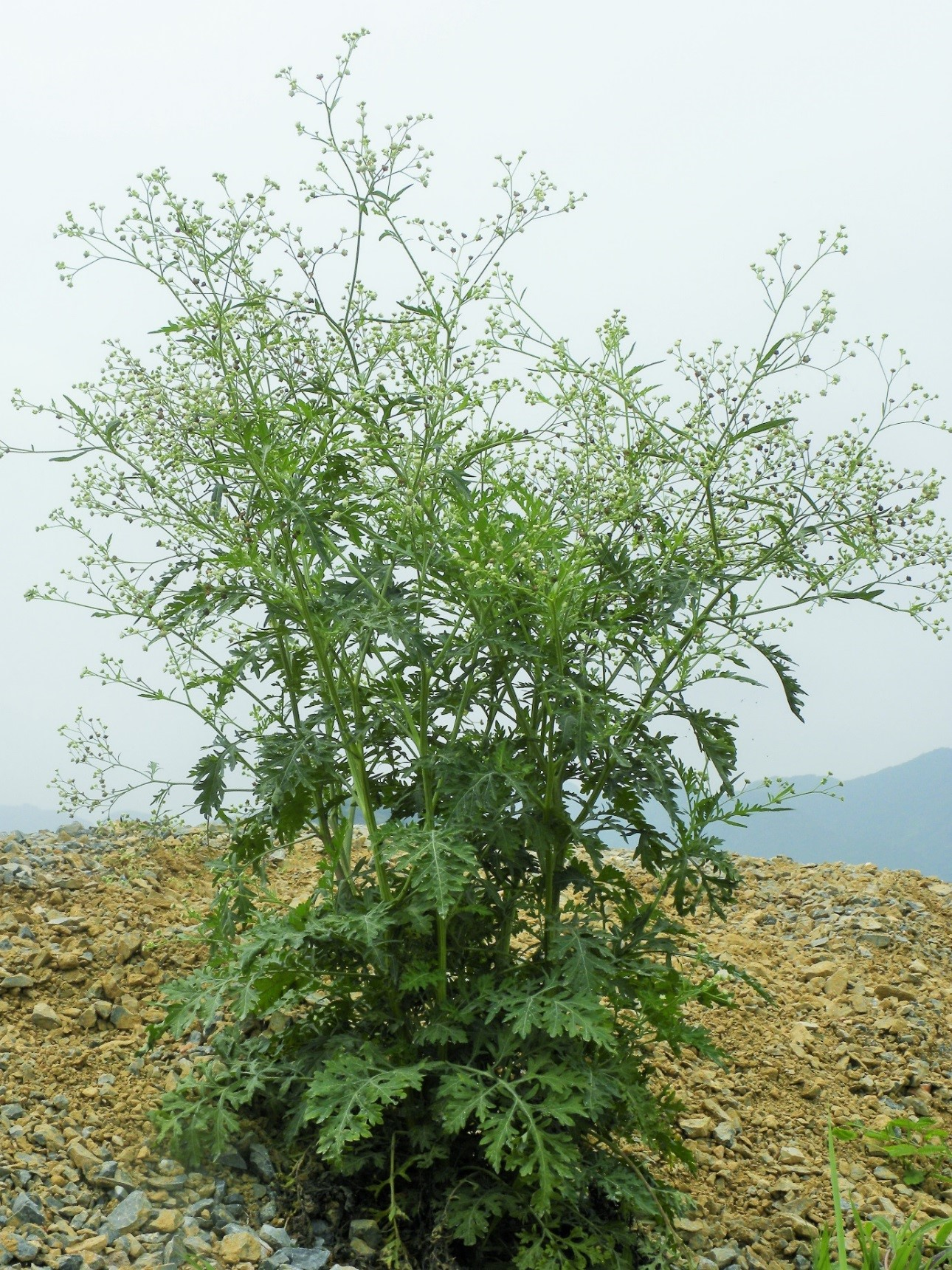 A small clump of field-growing parthenium weed plants approximately 80 days old