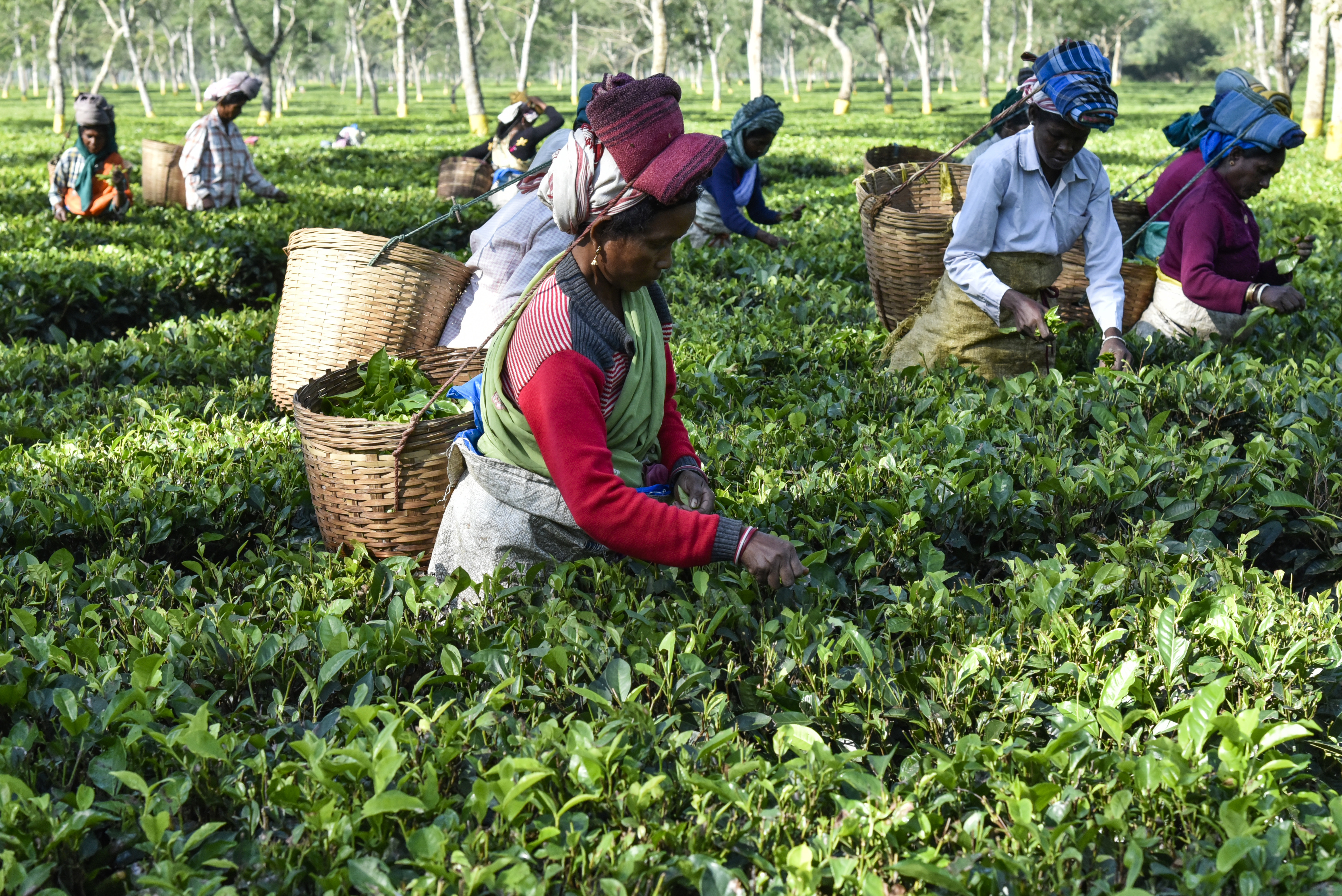 Promoting sustainable tea in India