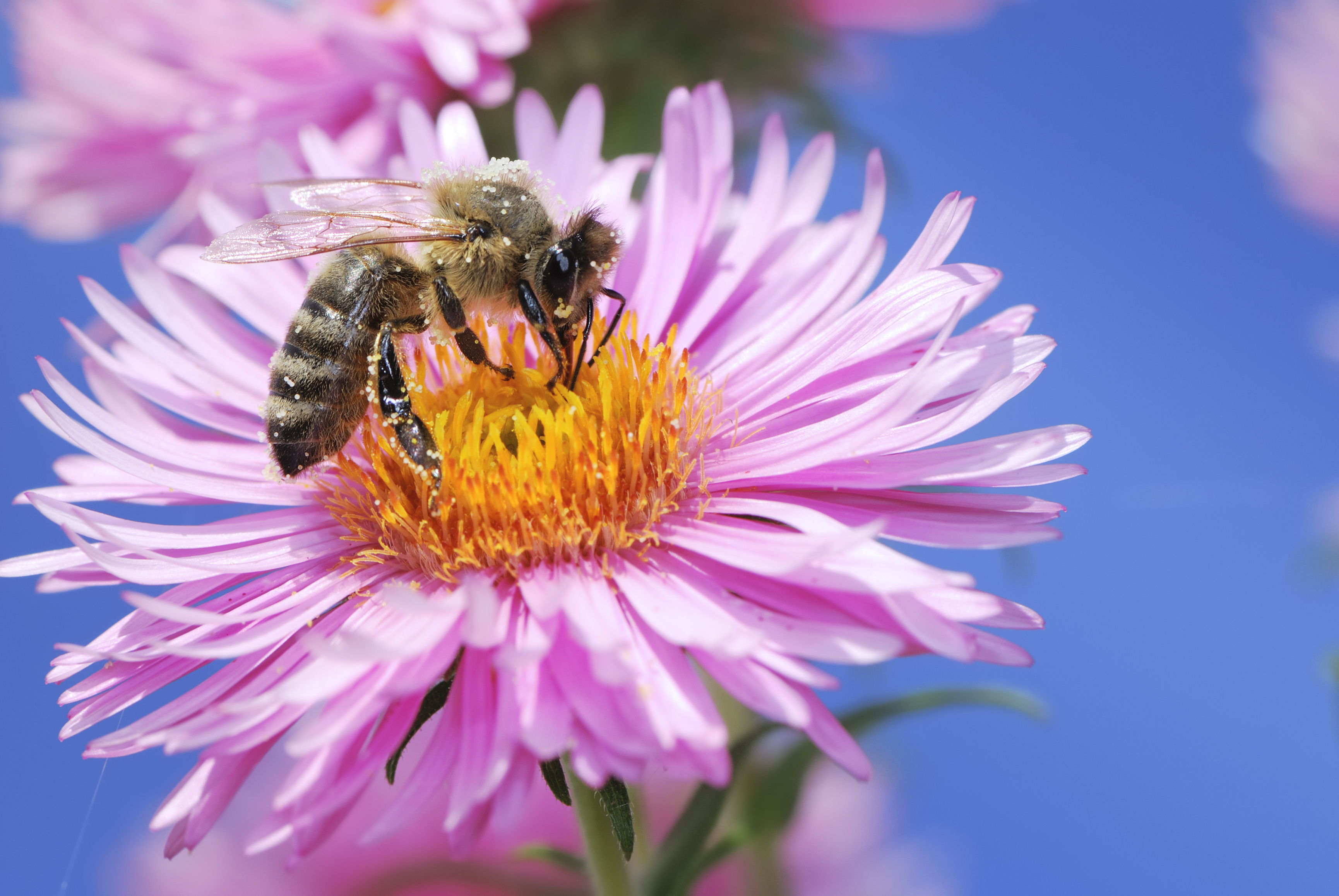 Aster flower with bee