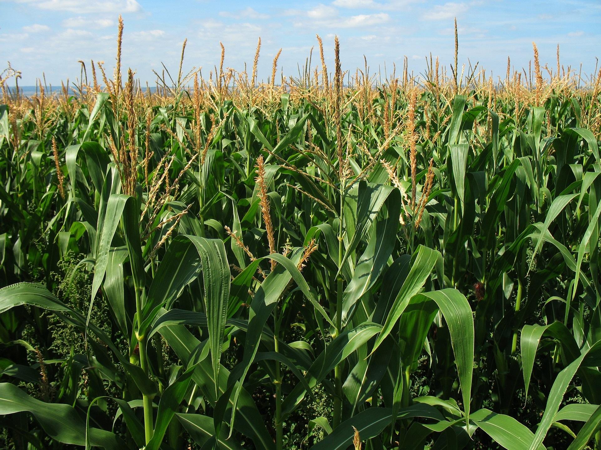 corn-field-1935_1920