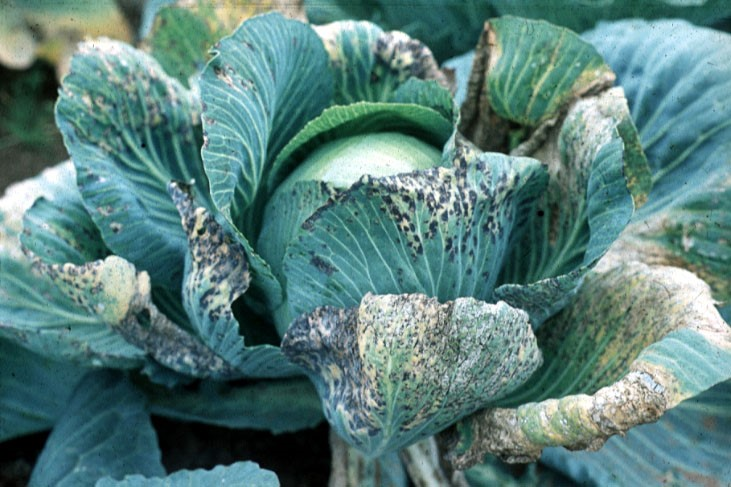 Cabbage with TuMV