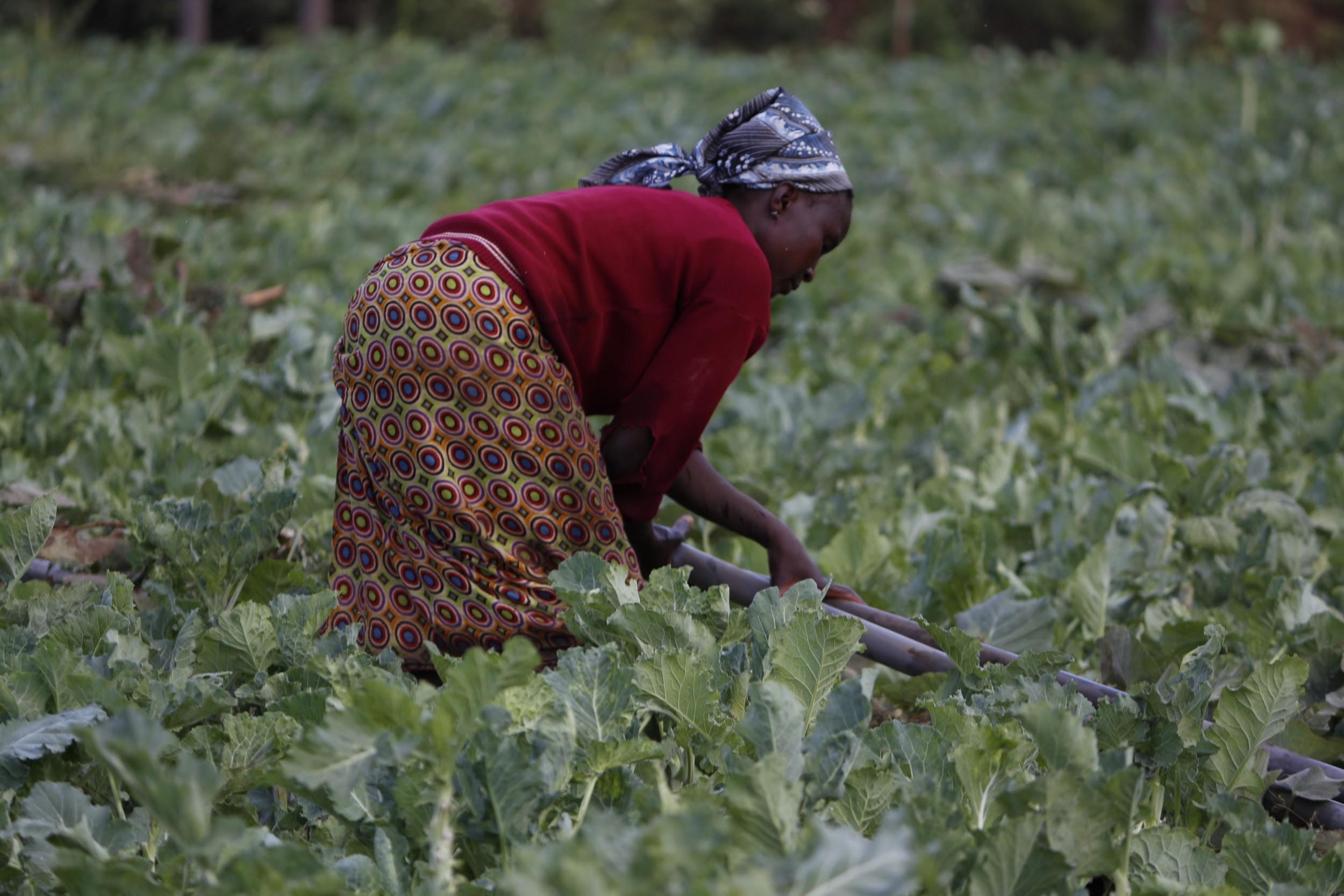 Farmer tending to kale