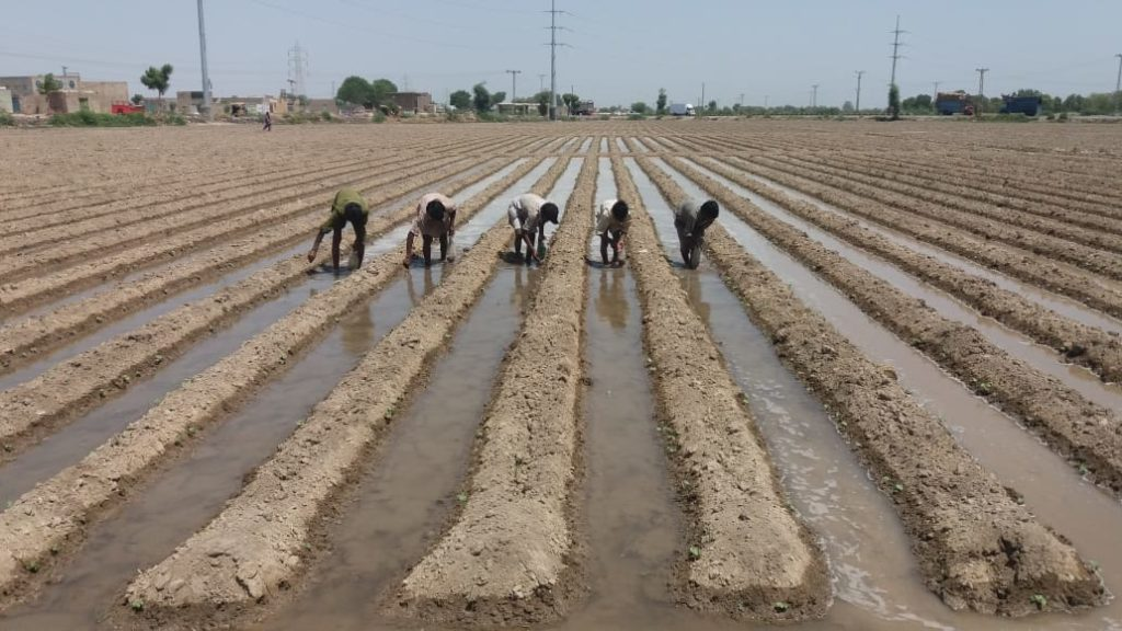 Cotton-Seed-Sowing
