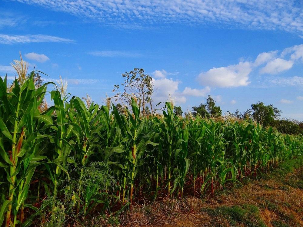 maize-272886_1280