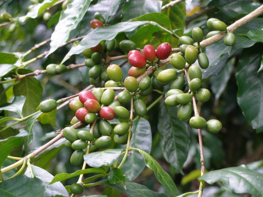 Coffee production in Cameroon